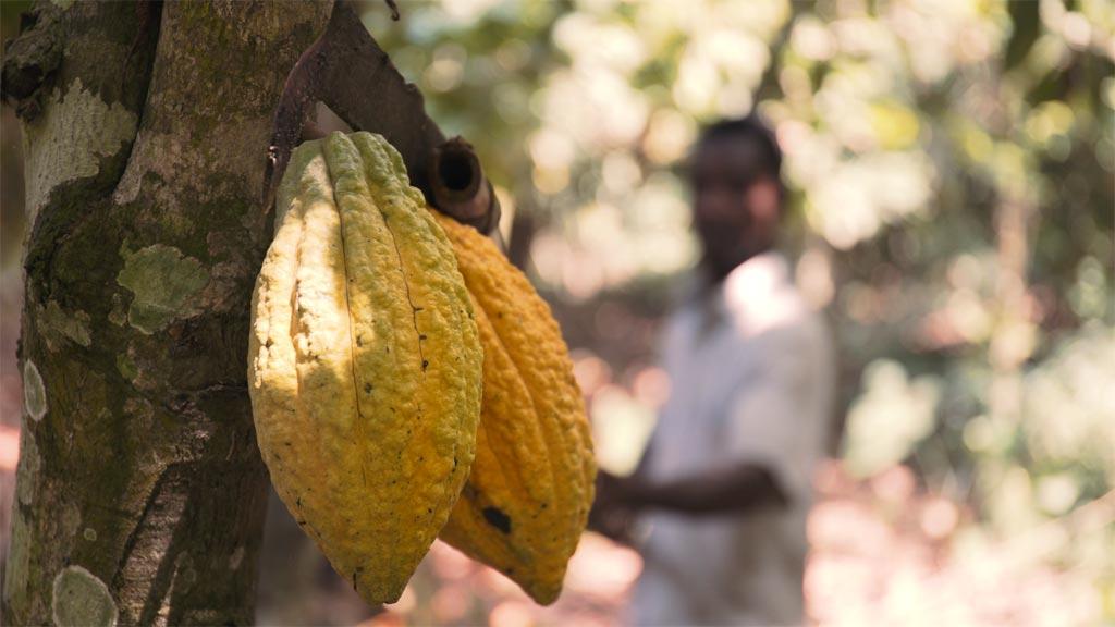 cocoa in ghana video