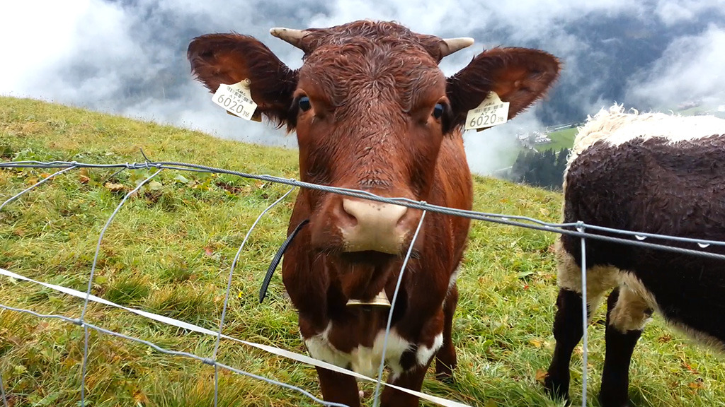 videomomente cow tirol werbung